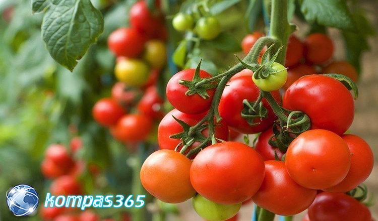 manfaat tomat dari merokok